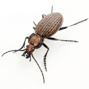 Granulated Ground Beetle