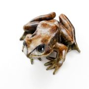 Common Frog Looking Up