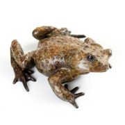 Common Toad, Male
